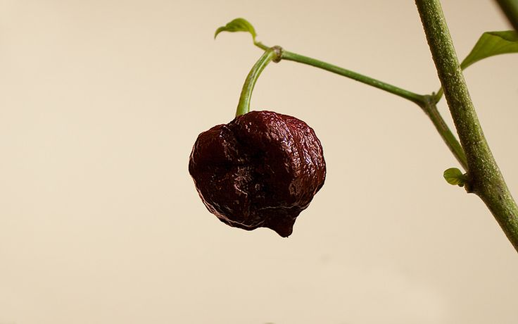 https://flic.kr/p/2129Hn5 | Apocalypse Scorpion Chocolate Chilli Pepper | This pepper is an Apocalypse Scorpion Chocolate (Capsicum Chinense). The plant was grown indoors under full spectrum LED lights.   Free to use as long as attributed to the Chili Life.