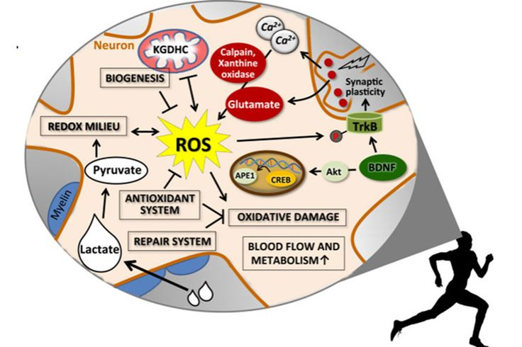 Functional Decline in Aging: Exercise and Reactive Oxygen Species (ROS)