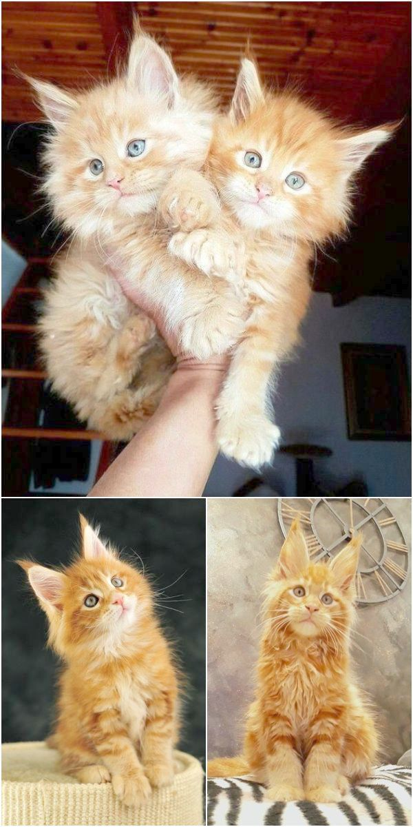 Kittens For Adoption Illinois Not Kittens For Sale On Craigslist