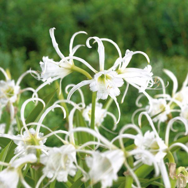 "Spider Lily ""Ismene Festalis"" Bulbs | Departments | DIY at B&Q"