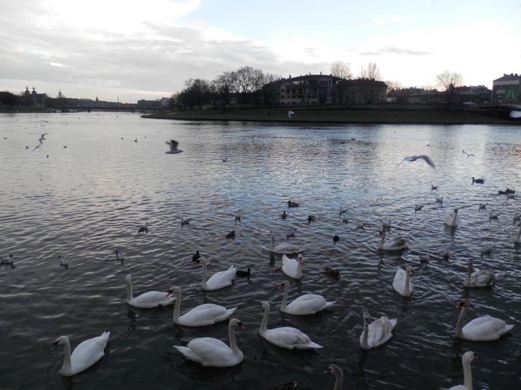 swans in Vistula river, Kraków