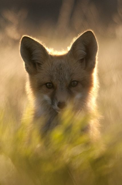 Reminds me of one of the closest friends, I've ever had: Foxy :) Red Fox CubbyTanner Johnson