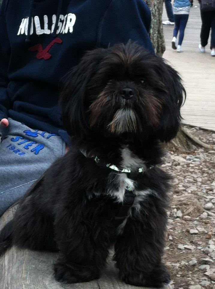 Lhasa Apso- looks like our Stiffler!  This one looks like the little Lhasa we picked out....but, unfortunately, she or he died. :(before we could even adopt him or her :(