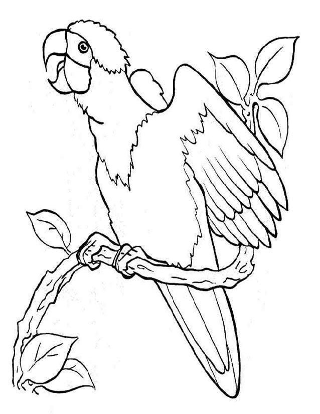 Plus de 25 id es magnifiques dans la cat gorie dessin de perroquet sur pinterest dessin d - Perroquet a imprimer ...