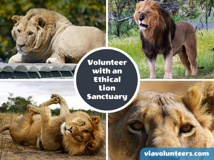 Volunteer abroad with Via Volunteers in South Africa during your Gap Year abroad and join a dedicated team at the Lion Sanctuary Project near Cape Town and contribute to the running of a genuine sanctuary for captive born lions that cannot be rehabilitated into the wild. https://www.viavolunteers.com/volunteer-south-africa-cape-town-lion-tiger-sanctuary