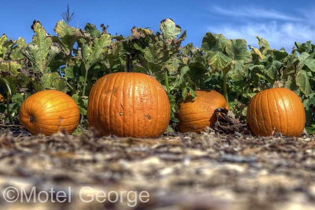 Pumpkin patch at Gilcrease Orchard; Las Vegas, NV.