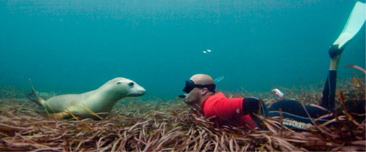 Swim with sea lions. port Lincoln western Australia