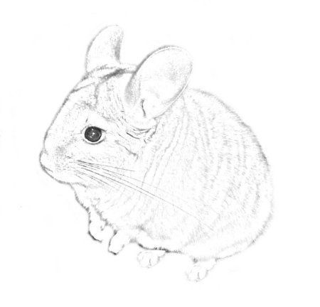 40 best chinchilla images on Pinterest Chinchillas Hamsters and