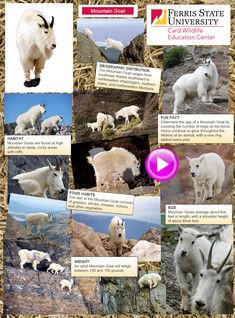 The mountain goat, also known as the Rocky Mountain goat, is a large hoofed mammal endemic to North America. #glogster #glogpedia #mountaingoat