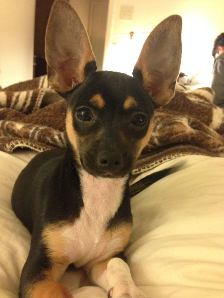 Garland (TX) United States  city photo : Found Dog Chihuahua Garland, TX, United States 75044 on April 08 ...