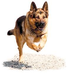 German Shepherd   running way  #dog