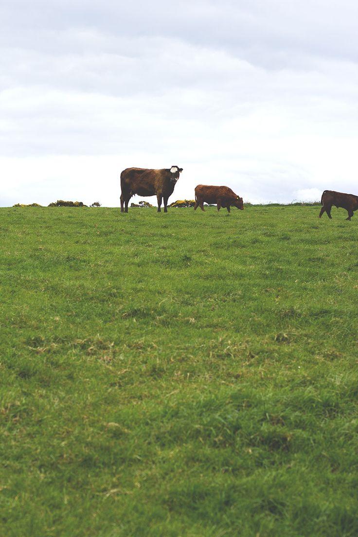 Rinder auf einer Farm in Old Head -- Irland-Rundreise mit Kerrygold, Bord Bia und Tourism Ireland: Bulman Pub in Kinsale und Rinderfarm in Old Head