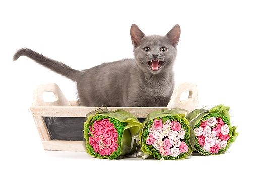 CAT 03 JE0184 01 © Kimball Stock Chartreux Kitten Hissing In Wooden Basket By Rose Bouquets On White Seamless