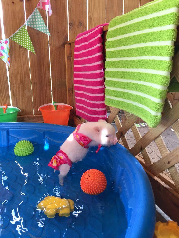 Paddling Pool PiggeyWiggey!!! :D x www.oinkoinkminipigs.com