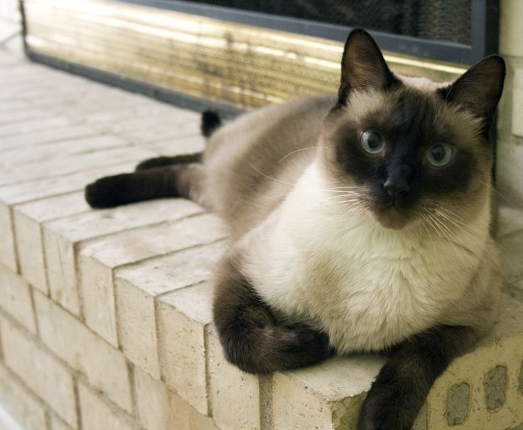 Fancy Names For Siamese Cats