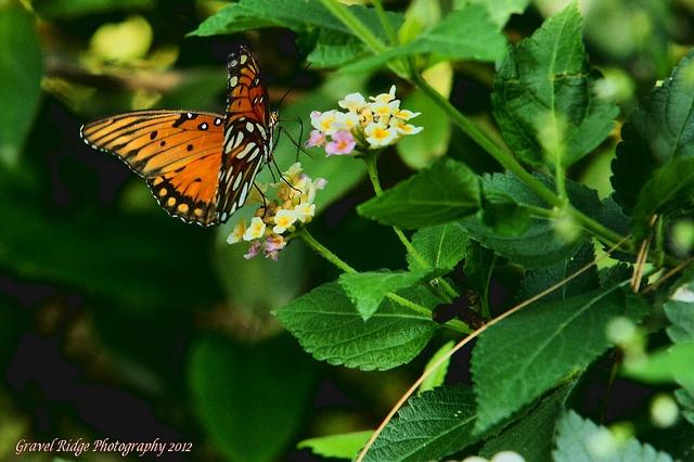 Gulf Fritillary Butterfly, via Flickr.Beautiful Butterflies, Fritillary Butterflies, Gulf Fritillary