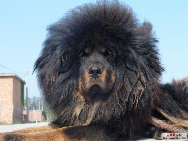 Tibetan Mastiff Price in India,Tibetan Mastiff puppy