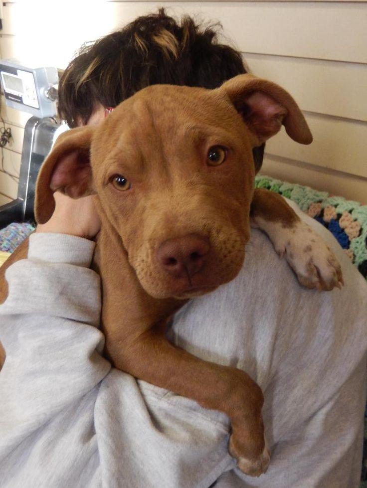 Adopt Reba On Pitbull Terrier Bull Terrier Dog Pitbulls