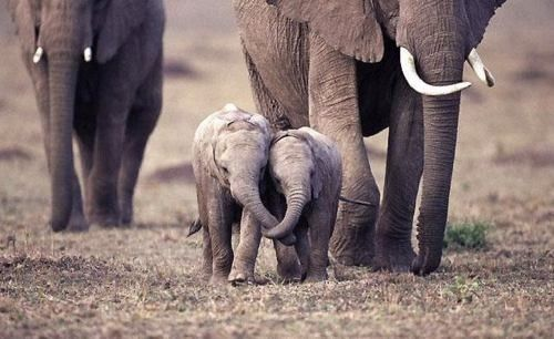 baby elephants holding trunks!