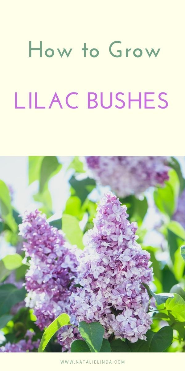 How To Grow A Lilac Bush For Beautiful Blooms In The Spring Natalie Linda In 2020 Lilac Bushes Flower Garden Care Flowering Bushes