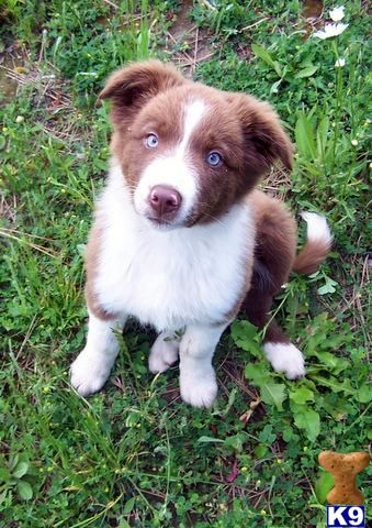 Red/white Border Collie Pup