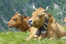 Traite des vaches en alpage - Maurienne Tourisme : L'agenda en Maurienne
