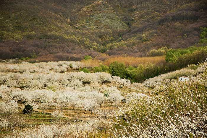 Valle del jerte Extremadura cerezos en flor © Turismo de Extremadura