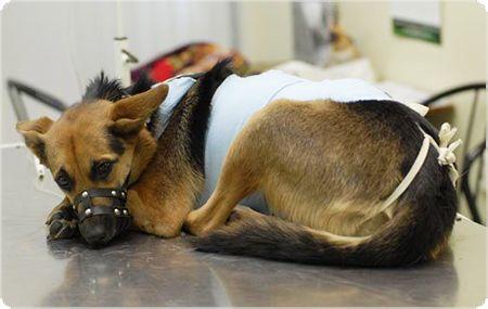 Всё, что необходимо знать владельцам собак о стерилизации домашних животных. #Бутово
