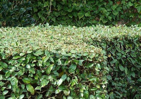 Eleagnus ebbingei (olijfwilg) is een vrij snel groeiende, brede, opgaande, bladhoudende heester. De bloemen die in het late najaar verschijnen, verspreiden een zoete geur. Is bestand tegen luchtvervuiling en zeewind. Wordt dan ook als haagplant gebruikt. Toe te passen in groepen (vakbeplanting en in blokken gesnoeid), als windkering, haag. Snoeien: verdraagt flinke snoei, in het late voorjaar of in de zomer als de planten als haag worden toegepast.