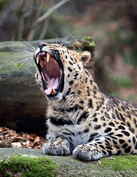 Amur Leopard (Panthera pardus orientalis) - only found in Russian Far East and North East China. Fewer than 40 left in the wild - the world's most endangered big cat.