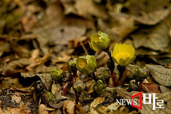 <<홍릉숲 - 복수초>> 복수초는 눈 속에서 꽃이 핀다고 해서 '설련화(雪蓮花)', 얼음 사이로 피는 꽃이라서 '빙리화(氷里花)'나 얼음꽃, 새해 원단에 피는 꽃이라는 '원일초(元日草)' 등으로도 불린다. 이른 아침엔 꽃잎을 닫았다가 일출과 함께 펼치기 때문에 오전 11시쯤부터 활짝 핀 모습을 볼 수 있다. 그러나 오후 3시가 지나면 다시 꽃잎을 오므려서 늦은 오후에는 꽃을 보기 어렵다. 복(福)과 장수(壽)의 바람이 담긴 이름대로 복수초의 꽃말은 '영원한 행복'. 일본에서는 '새해 복 많이 받고 장수하라'는 의미로 복수초를 선물하는 관습이 있다 (홍릉숲에서 ©뉴스바로 장덕수 기자  2015.2.8)