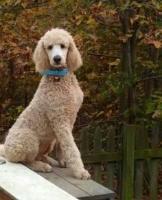 cream colored standard poodle - I like this cut!