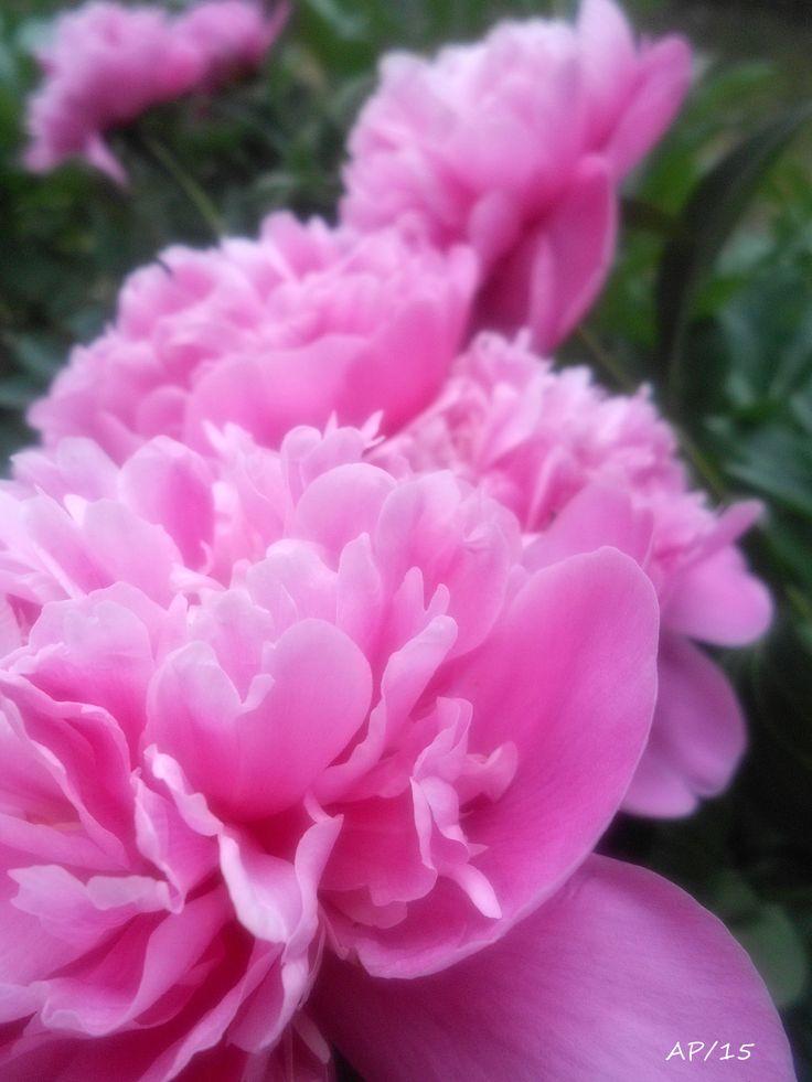 Pivoňky růžové - foto z naší zahrady/2015