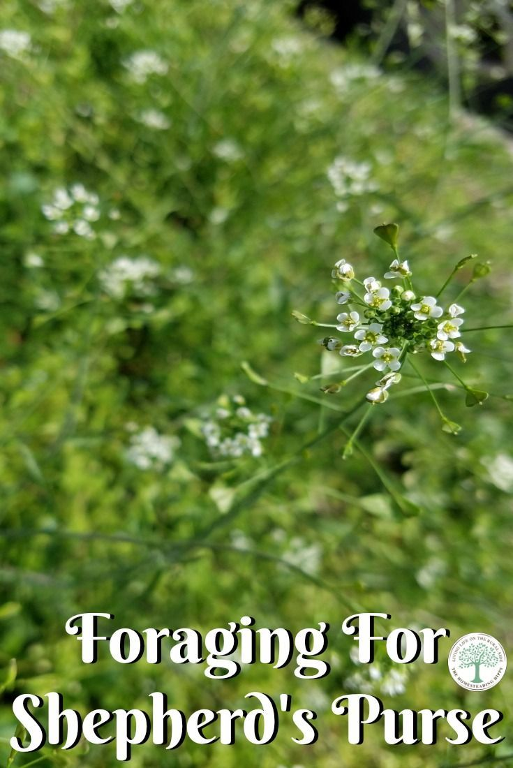 Learn how to forage for and use Shepherd's Purse! The Homesteading Hippy via @homesteadhippy