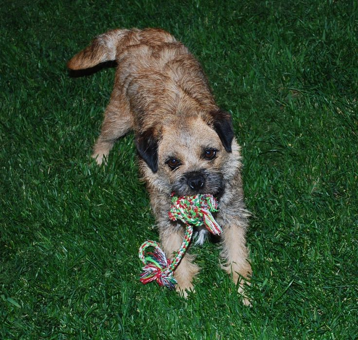 Border Terrier-- LOVE this breed, one of these days...