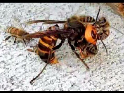 Hornet cooked by bees - YouTube-Japanese honeybees defense against giant Japanese hornet  | Call A1 Bee Specialists! (248) 467-4849!  Call A1 Bee Specialists in Bloomfield Hills, MI today at (248) 467-4849 to schedule an appointment if you've got a stinging insect problem around your house or place of business! You can also visit www.a1beespecialists.com!