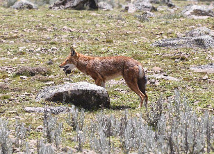 Southern Ethiopian wolf feeding, Bale Mountains.