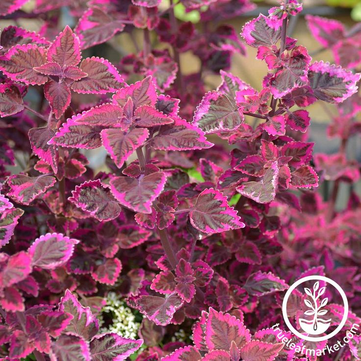 Mountain Valley Seed Co. - Coleus - Wizard Series - Velvet Red #TL-01661P6