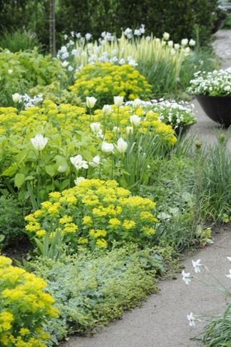 White & chartreuse flowers, silvery foliage