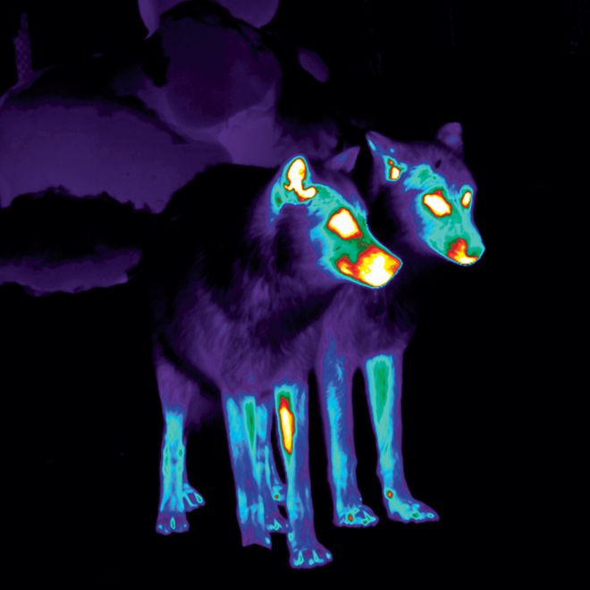 Scientists don't know how to halt mange, and they don't even know the full impact of the disease on the wolf population. But they've discovered a powerful tool for finding out: infrared cameras. Because heat is escaping through bald patches, these spots show up on thermal images of wolves wandering the wilderness.