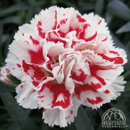 Dianthus caryophyllus SuperTrouper™ Red White