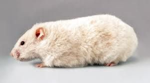 Cream Roan Rex Syrian Hamster   AMAZIN'SYRIAN: ALL TYPES OF SYRIAN HAMSTERS
