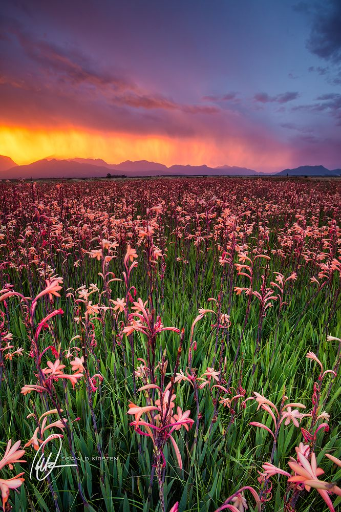 A field of Watsonias in full bloom in a South African landscape. #watsonias #southafrica #landscape