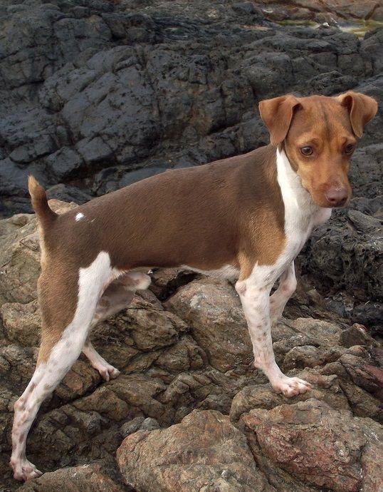 Fox Paulistinha / Brazilian Terrier
