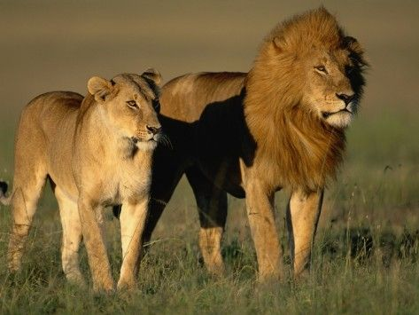 17 Best ideas about Female Lion on Pinterest | Female lion ...