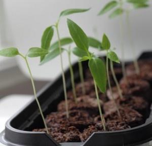 Chilit itävät parhaiten 24-28 asteen lämpötilassa.