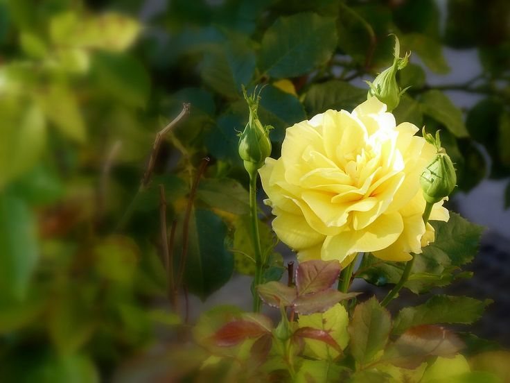 the yellow tea rose
