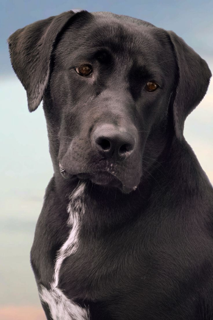 Dog Model Strikes a Pose!!! Labrador / Great Dane mix