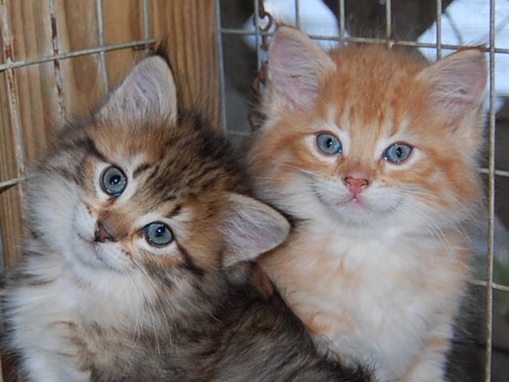 American bobtail cat breeders in florida