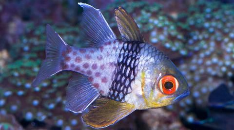 Buy Pajama Cardinal Online Saltwater Aquarium Fish And Coral Vivid Aquariums With Images Saltwater Aquarium Fish Fish Fish For Sale